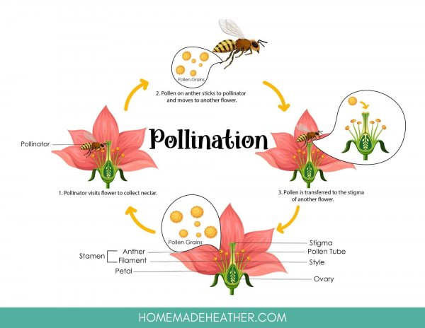 Pollination Cycle Work Sheet