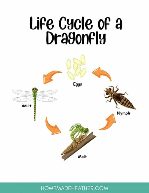 Dragonfly Lifecycle Printable
