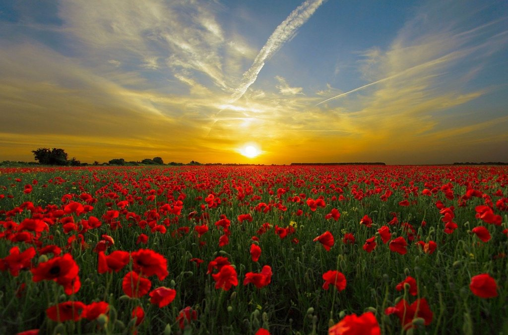 sunset, field poppy, sun