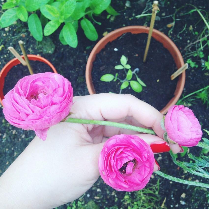 renoncules roses jardin