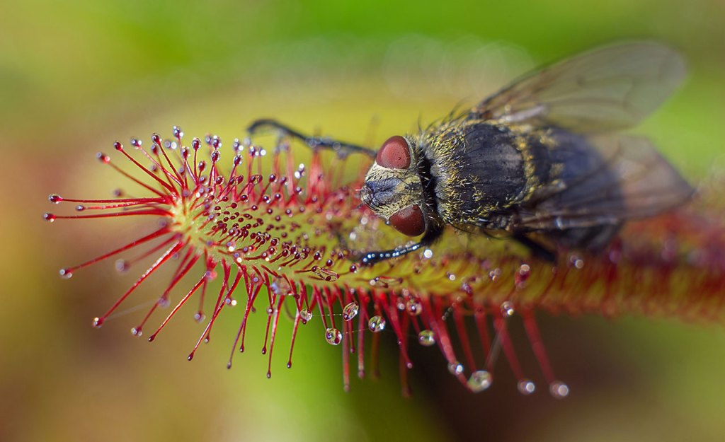 Plante carnivore drosera homeopéthie.