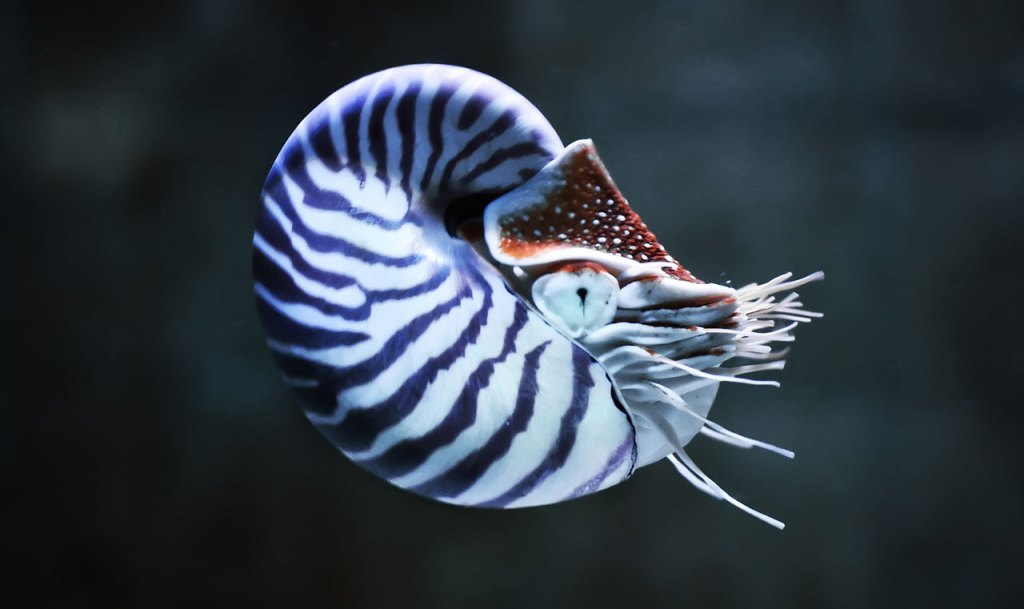 Nautilus pompilius en homéopathie.