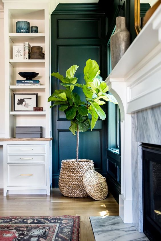 fig tree for home
