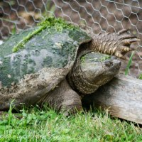 Have You Ever Seen a Turtle Climb a Fence?
