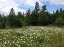 Forest and Daisy Meadow