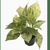 Snow Queen Pothos- Hirt's Plants