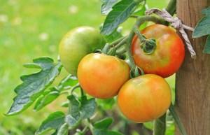 tomatoes-1539503_1280