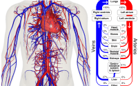 Electro Homeopathic Remedies of Cardiovascular System
