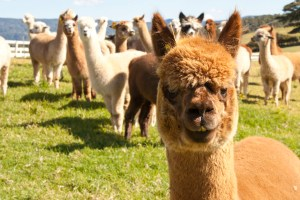 alpaca grinning