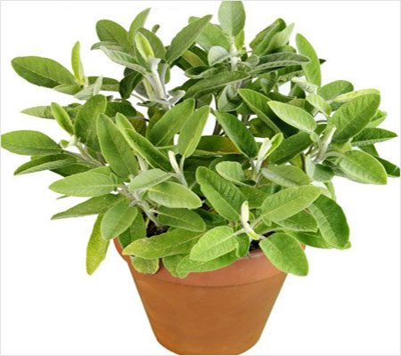 Sage uses of Canker Sores In Mouth