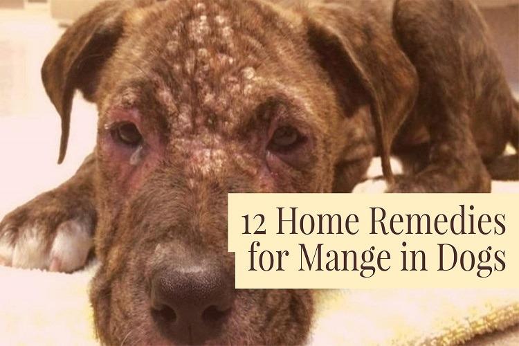 Image Result For How Do Dogs Get Mange