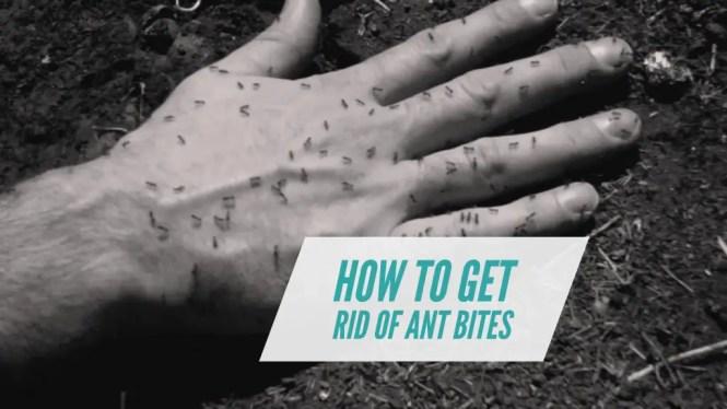 Ant Bite Remedies
