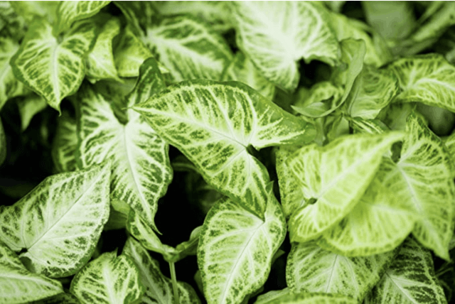 The Arrowhead plant shown is a plant that you can grow in water