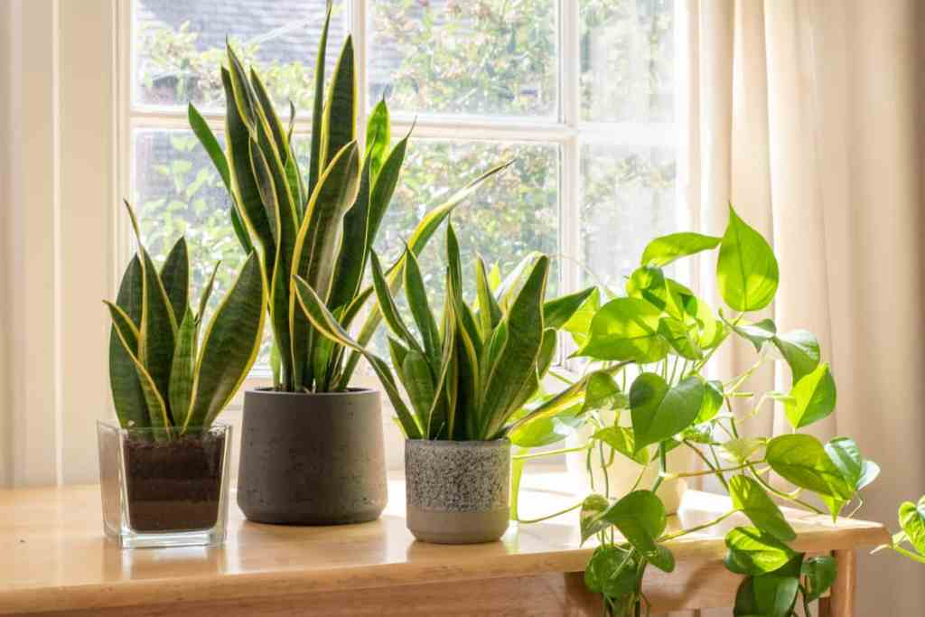Indoor houseplants next to a window in a beautifully designed home or flat interior. what are snake plant benefits?