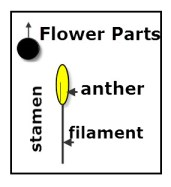 Diagram of Male Flower Parts