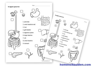 [DIAGRAM] Middle School Digestive Diagram FULL Version HD Quality Digestive Diagram  ADAM