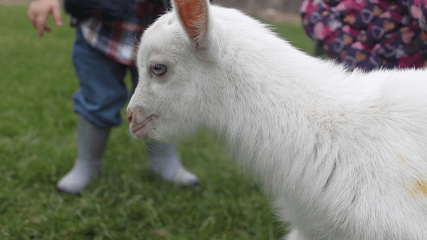 Goodness Gracious Goats!
