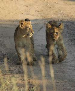 Lion cups in South Africa