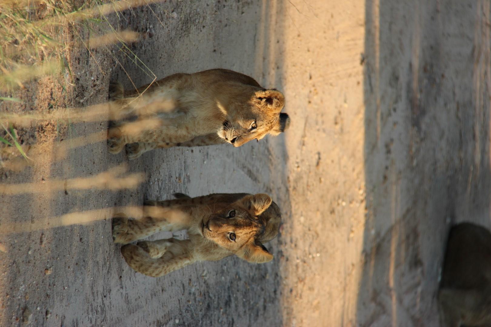 Welpen - Krugerpark - Zuid-Afrika