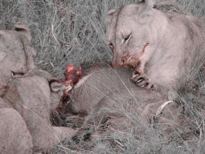 Lion kill in South Africa