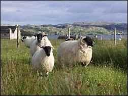 sheep on croft
