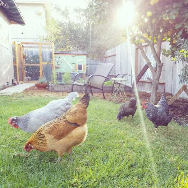 Four backyard chickens are shown, picking in the grass. One chicken is grey, one is orange, one is brown, and the last is black and white.  A sunbeam is shining across the photo,  and there is a green chicken coop in the background. Short wood raised garden beds are between the chickens and the coop.