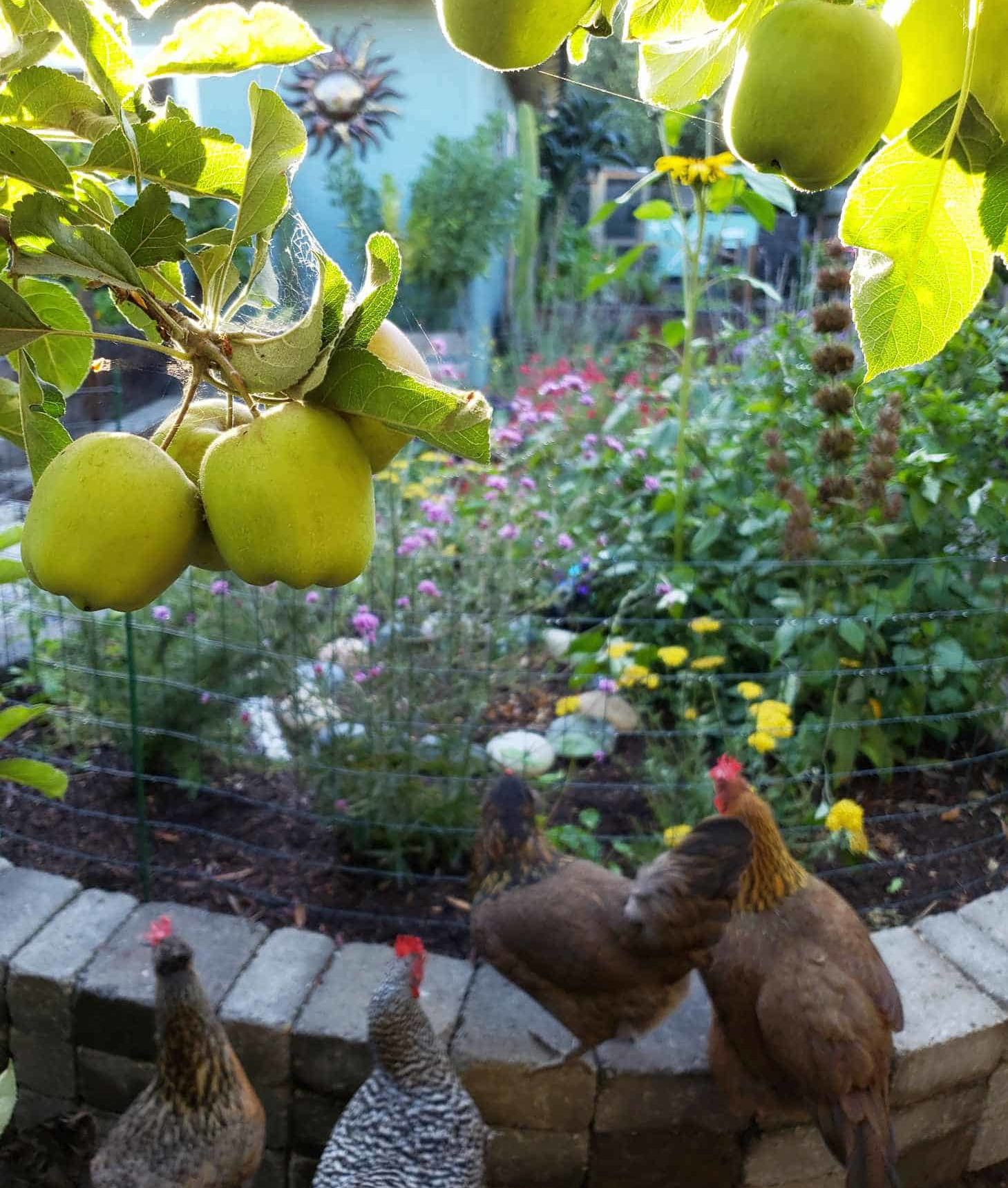 A stone raised bed full of flowering perennials, planted to attract pollinators like bees, butterflies, and hummingbirds. An apple tree dangles in front of the shot, and backyard chickens are in the foreground, enjoying the garden.