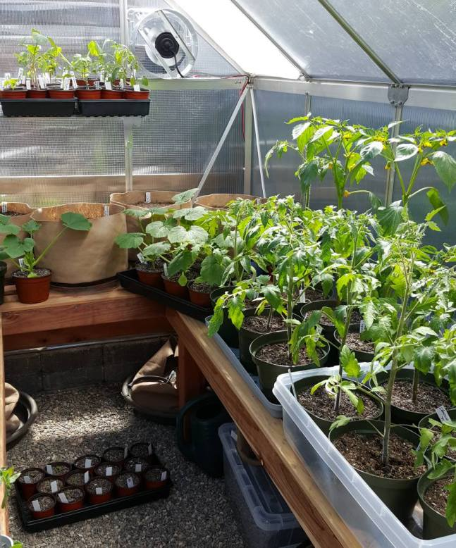 """A small greenhouse full of tall young plants, larger than seedlings, like tomatoes, tomatillos, and summer squash. The plants have been potted up a few times, from smaller containers into larger containers, preventing them from becoming root bound. They have already been """"hardened off"""" and are ready to be transplanted outside in to the garden."""