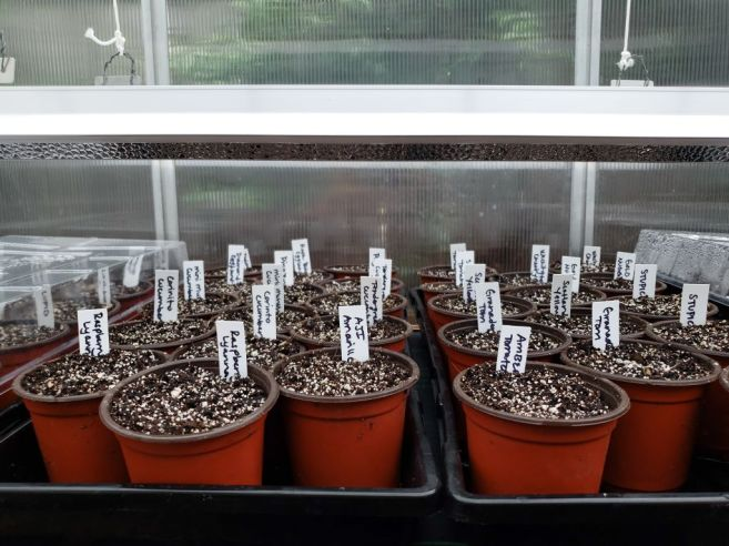 Seedling trays are full of 4 inch pots that contain seed starting soil mix. Seeds have been sown in each of the pots and are awaiting germination.