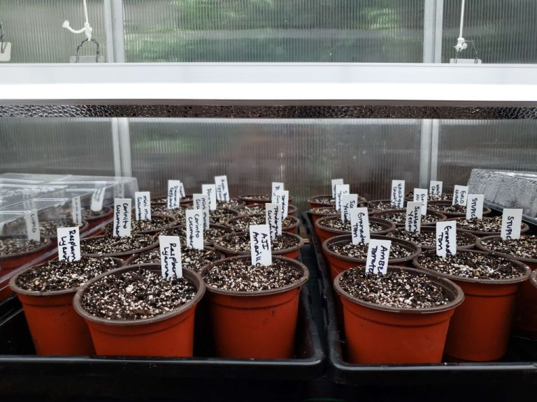 Fluorescent grow lights hung only a few inches above trays of seedlings, encouraging them to stay short and strong instead of tall and leggy. The lights can be raised as the seedlings grow taller.