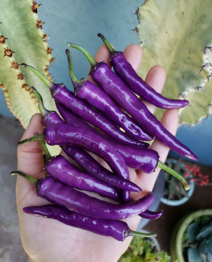 A handful of bright purple homegrown Buena Mulata hot chilis from Baker Creek heirloom seeds.