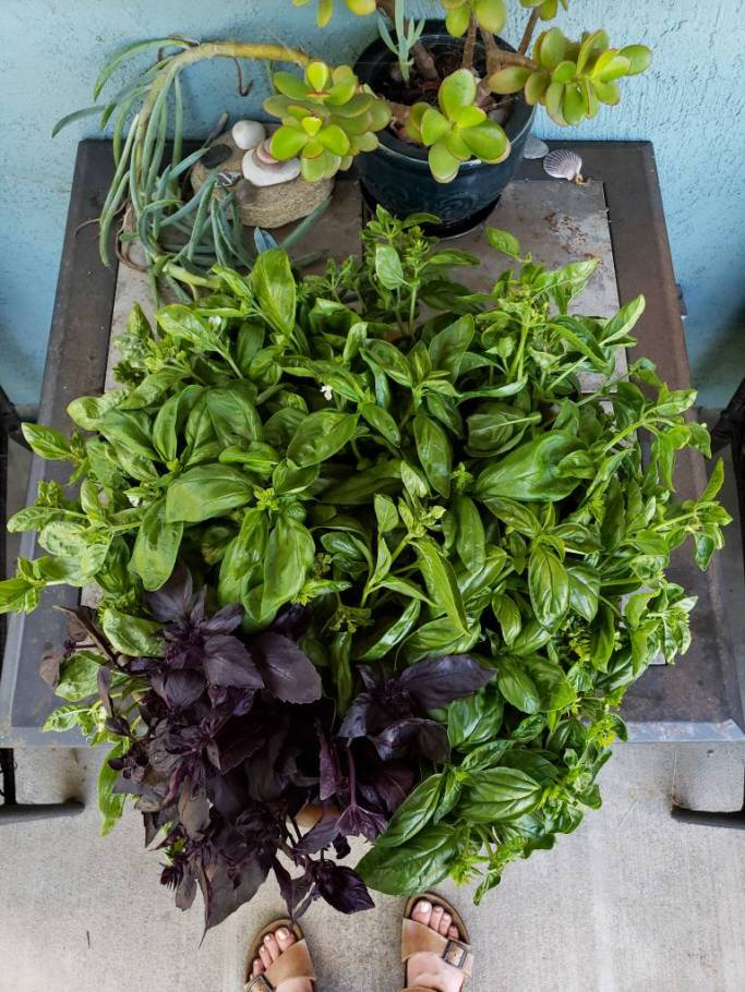 A hug bowl full of homegrown cut basil, including green Italian Genovese basil along with a purple variety.