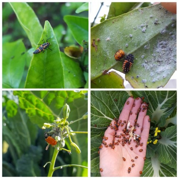 Shown are ladybugs in various stages of life. First, the larvae stage on a leaf, long, skinny, black and orange with spikes. Then they go into pupa, curled up in a little orange sac on the bottom of leaves, before emerging as a ladybug. Two photos show the larvae and the adult beetle eating aphids. The last photo shows a hand, covered in ladybugs, being released into the garden.