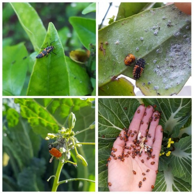 Four images of lady beetles in all stages of life
