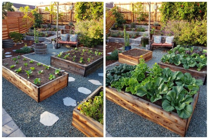A before and after photo. One shows raised garden beds that look fairly empty, just recently planted with small seedlings. The after photo is just four weeks later, but the beds are already completely full of greens, touching and  empty soil no longer showing. The greens include bok choy, tat soi, and other asian greens.