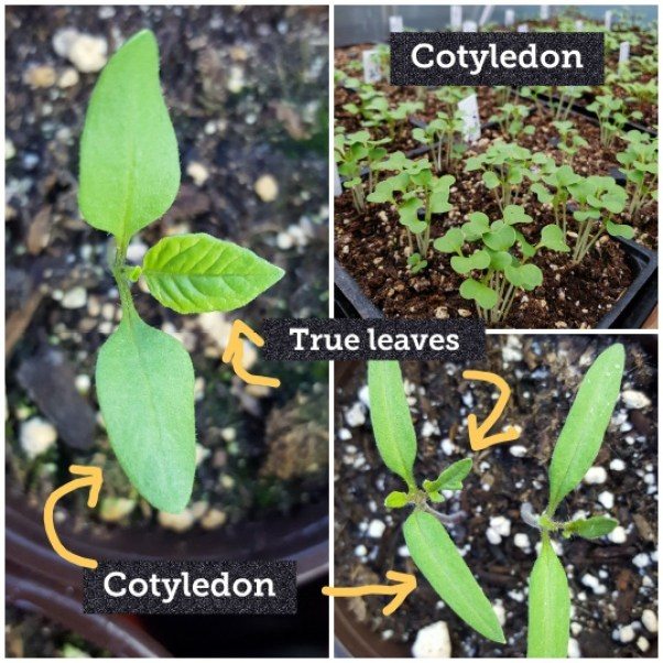This image shows three photos of very small seedlings. They all have their embryonic leaves, also called cotyledon, and are just starting to grow their first set of true leaves. Many of them all look the same at this stage.
