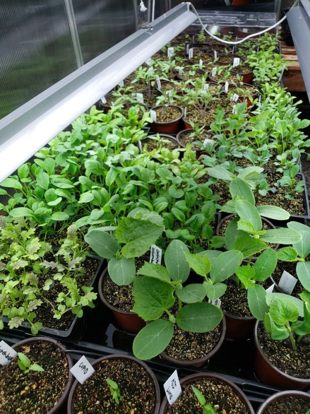 A bench in a greenhouse is filled with homegrown seedlings, all several inches tall now and starting to look very full and healthy. Shown are tomatoes, peppers, various greens like kale or collards, herbs, and flowers. There are long grow lights hung above them.