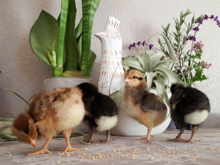 Four tiny fluffy baby three day old chicks are staged on top of a lacy surface, with house plants and a ceramic chicken in background. Two are black and white, and two are brown and tan.