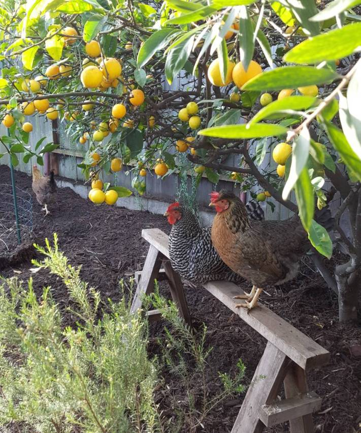 Two backyard chickens are perched on a sawhorse roost under a lemon tree. One chicken is black and white, a barred rock. The  other is smaller, and is brown, orange, and yellow - a crested cream legbar. Another chicken is in the background, walking around the yard.