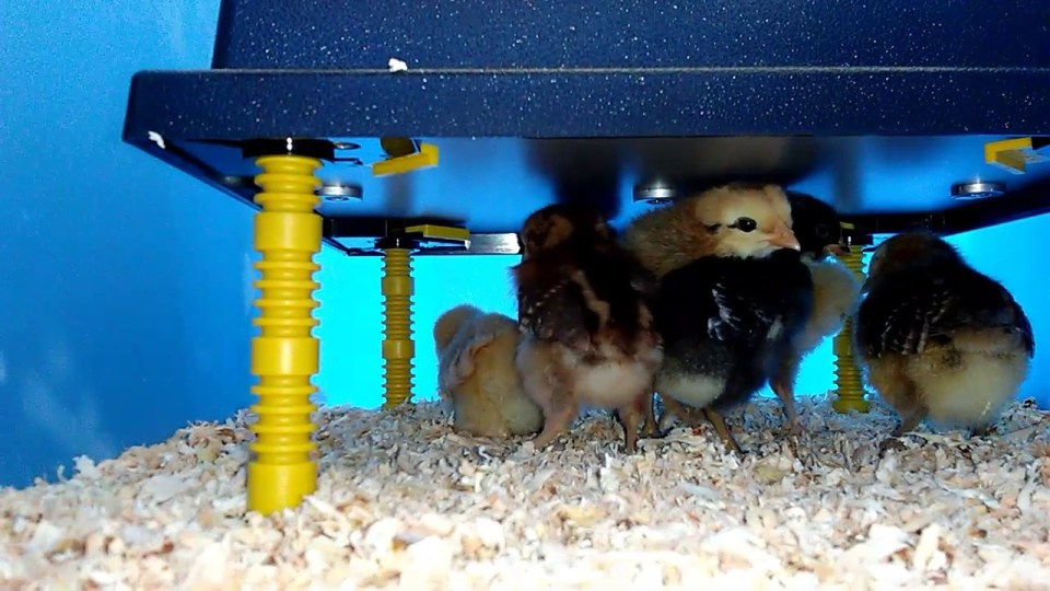 An image of five baby chicks huddled together under a radiant heat plate. It is elevated a few inches off the brooder floor and has yellow adjustable legs for changing the height.