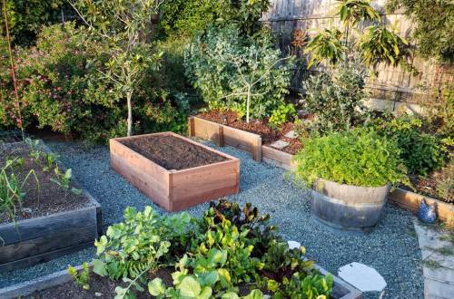 A new raised bed in a front yard garden, glowing with fresh pink redwood, among a mature and established landscape of green and grey wood. Blue green gravel is between the beds.