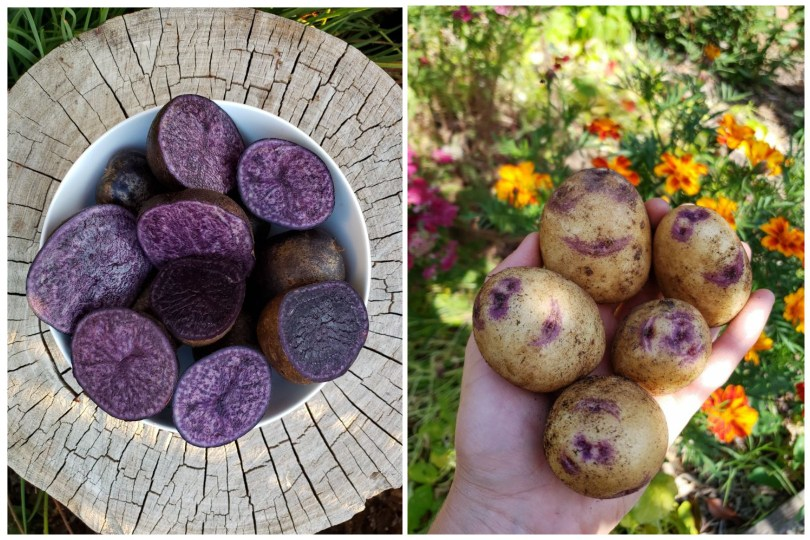 Two image. On the left is looking down on white bowl full of very purple potatoes, cut in half. The bowl is on a tree stump. On the right is a hand holding potatoes up. They're mostly tan in color with purple striping around their eyes.