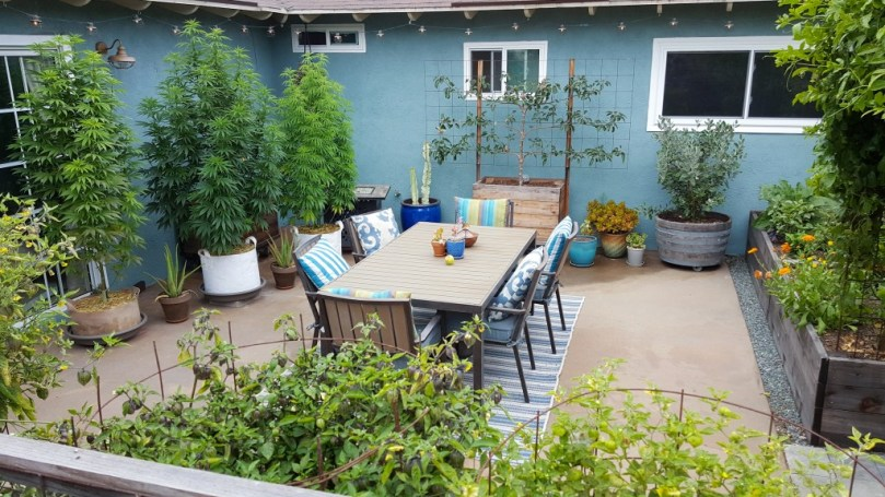 Looking down into a back yard patio garden. Three large cannabis plants are in fabric grow bags. There is also a table on a colorful rug, an apple tree, fire pit, aloe vera plants, and other garden beds around the patio.
