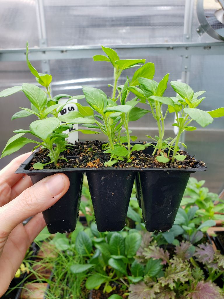 A seedling 6-pack of tulsi aka holy basil. The plants are still fairly small, healthy and happy in their current container.