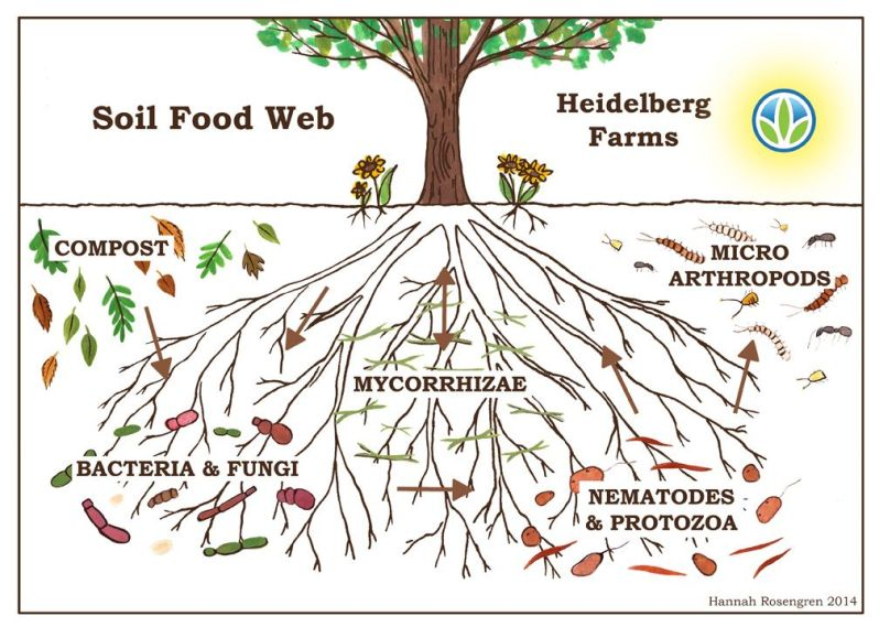 A diagram by Heidelberg Farms showing what the Soil Food Web looks like below ground. There are tree roots with compost and micro arthropods on the soil surface, with bacteria and fungi, mycorrhizae, and nematodes and protozoa below the soil surface, in and around the tree roots.