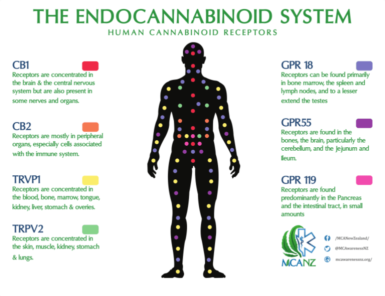 A diagram of the endocannabinoid system and the human cannabinoid receptors. There is a human figure in the middle with many dots of varying color throughout the body. Along each side of the body there are listed cannabinoid receptors such as CB1, CB2, TRVP1, TRVP2, GPR 18, GPR 55, GPR 119 as well as a brief description on where the receptors can be found in the body. Each receptor has a color coded square next to it that ties into the colored dots on the human body in the center.
