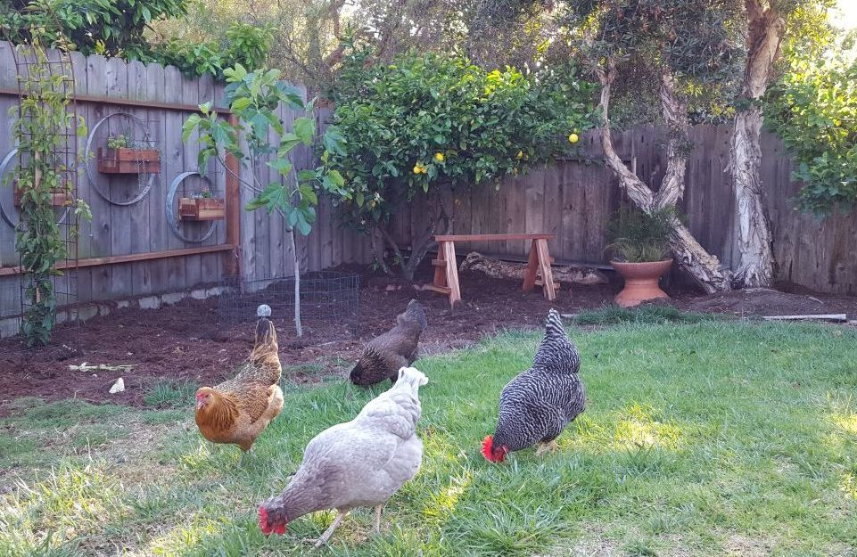 Backyard Chickens: The Top 18 Breeds for Your Flock ...