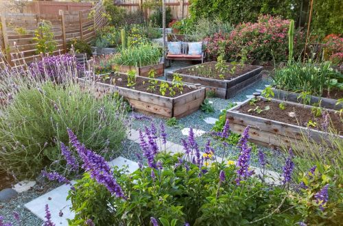A photo of four raised wood garden beds, full of small seedlings. In the foreground are tall spikey purple flowers, framing the photo. Lavender and sage. A small bench, other flowers, and trees are around the raised beds, which are situated with blue green gravel around them