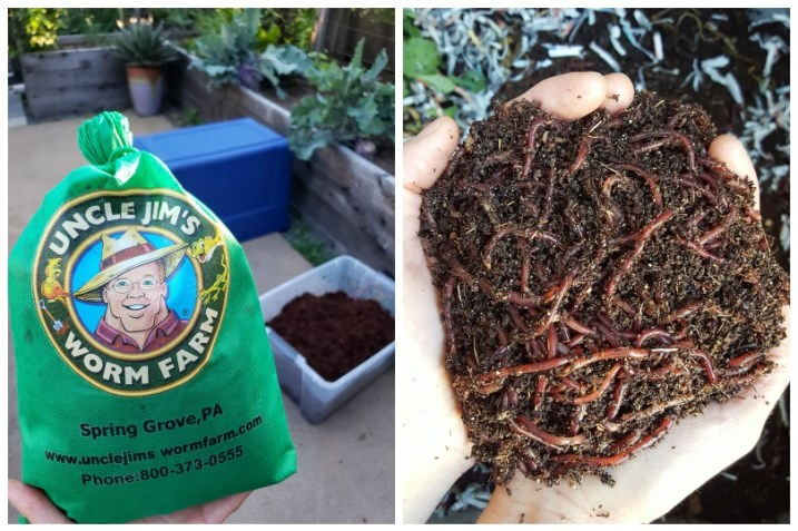 """Two images. One of a bag of worms, that reads """"uncle jims worm farm"""" on the outside of the bag. It is poised in front of a plastic tote in the background, the future worm bin. The second image is two hands cupped around a large handful of red wiggler compost worms."""