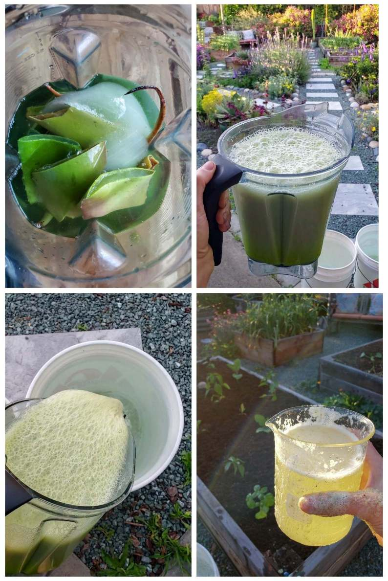 Four images showing whole aloe vera leaves being blended in a blender, poured into a 5-gallon bucket of water to dilute it, and then being added to a garden bed of small plants. The solution is bright yellow-green, illuminated in the sun in a glass beaker.